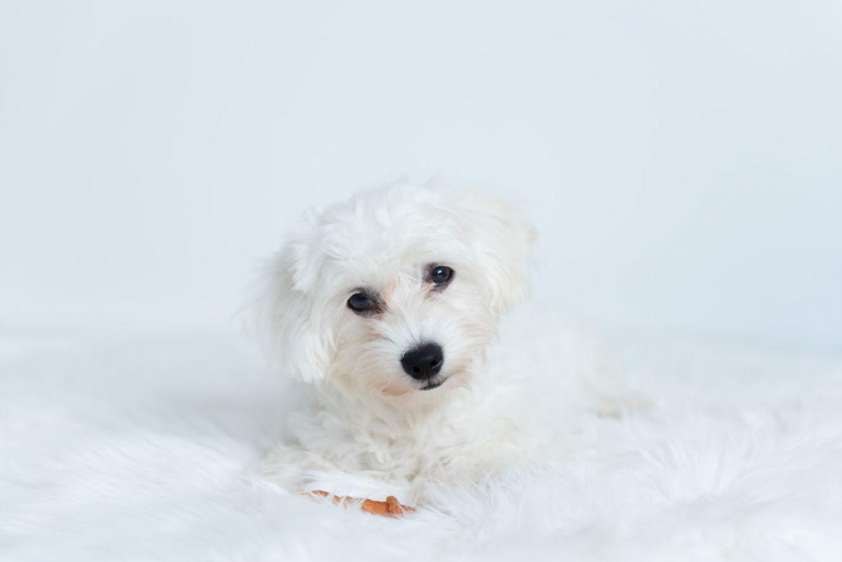 hundefotografie-malteser-wien